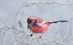 Обои Птичка сибирский урагус на заиндевелой ветке, фотограф Vladilenoff