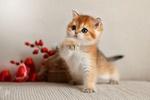 Обои Трехцветный котенок стоит на диване с приподнятой лапкой, фотограф Светлана Писарева