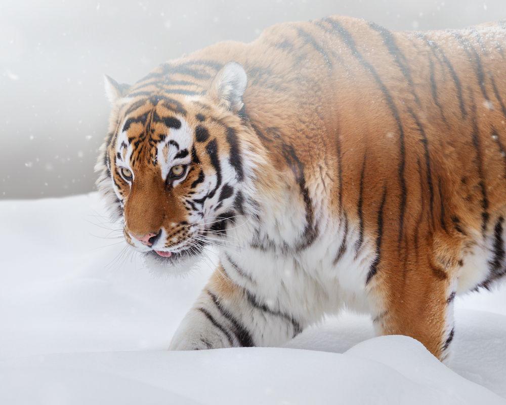 Обои для рабочего стола Амурский тигр идет по снегу, фотограф Олег Богданов