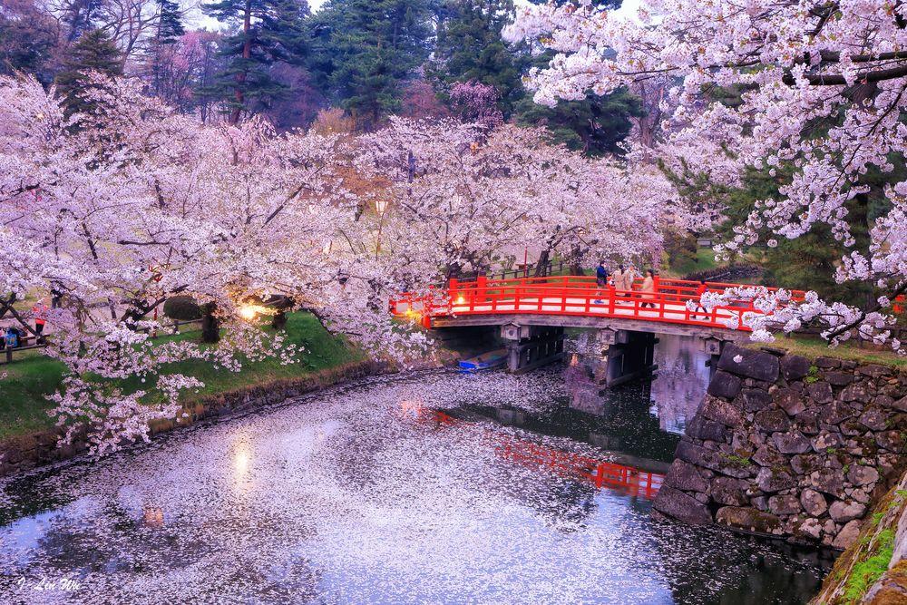 Обои для рабочего стола Весеннее цветение сакуры в парке, красный мост через речку, поверхность которой вся усыпана лепестками розовой сакуры, Japan / Япония