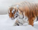 Обои Амурский тигр идет по снегу, фотограф Олег Богданов