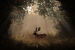 Обои Олень стоит в лесу под лучами света, by sophiaspurgin