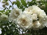 Обои Белые розы в каплях росы