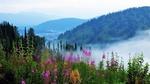 Обои Туманное утро в Алтайском крае, на переднем плане цветущий Иван-чай. Фотограф Сергей Чиняев