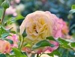 Обои Нежная роза на размытом фоне с каплями росы от фотографа Silvia