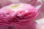 Обои Розовая роза в каплях росы, фотограф Silvia