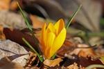 Обои Желтый крокус среди прошлогодних опавших листьев, by Nicky
