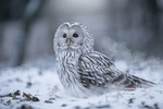 Обои Сова на снегу, by Tanja Brandt