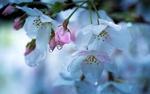Обои Цветы вишни в капельках воды