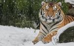 Обои Тигр лежит на снегу и смотрит в камеру