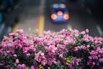 Обои Сиреневые цветы на переднем плане и авто на дороге, by wolfboytroy