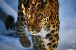 Обои Дальневосточный леопард, by vznakomov1