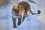Обои Дальневосточный леопард на снегу, by vznakomov1