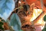 Обои Кошечка за листвой, by Lesia Pko