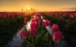 Обои Розовые тюльпаны солнечным утром, фотограф Erwin Buske