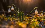 Обои Белые подснежники в траве под яркими лучами солнца, фотограф Лашков Федор