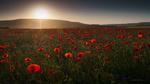 Обои Маковое поле на закате, фотограф Семенюк Василий