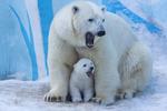 Обои Полярная белая медведица со своим медвежонком, фотограф Anton Belovodchenko