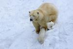 Обои Полярная белая медведица со своими медвежатами, фотограф Anton Belovodchenko