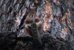 Обои Белочка сидит на сучке и смотрит в камеру / Сижу жду весну, другого не предлагать, фотограф Дмитрий Посевич