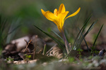 Обои Желтый весенний крокус, by Ben Yamada