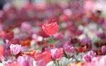 Обои Весенние розовые тюльпаны