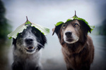 Обои Две собаки с листом на голове, фотограф Anne Geier