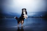 Обои Собака стоит в воде на задних лапах, фотограф Anne Geier