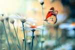 Обои Бабочка над ромашкой, by Mustafa ОztГјrk