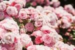 Обои Цветущие розовые розы