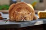 Обои Толстый рыжий кот спит на столе