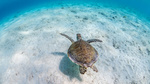 Обои Морская черепаха на мелководье