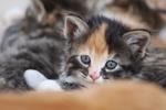 Обои Трехцветный котенок лежит и смотрит в камеру