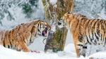 Обои Два амурских тигра в зимнем лесу под падающим снегом