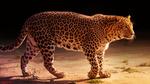 Обои Леопард стоит на земле, by Sunil