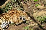 Обои Спящий на земле леопард, by Mathias Schneider