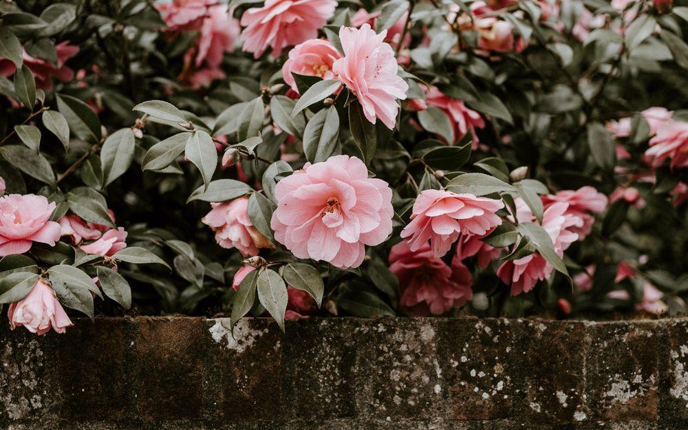 куст розовые цветы фото завершается возведение