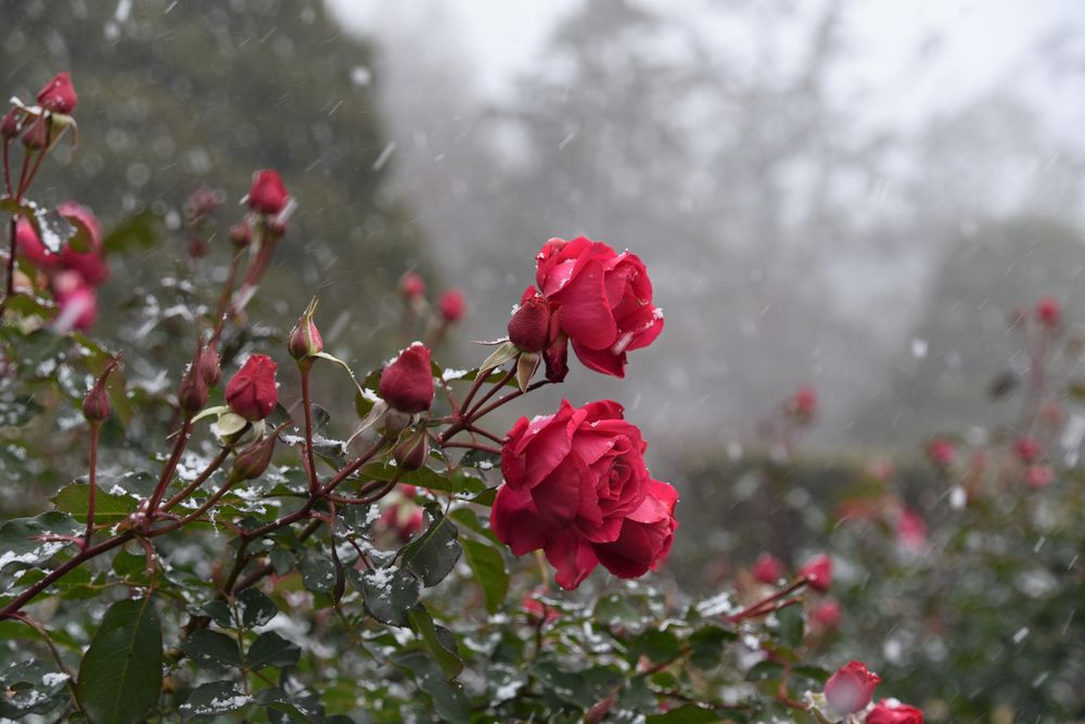 розы под дождем фото принципе вижу