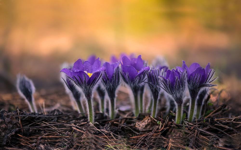 Обои для рабочего стола Синие анемоны - прострел раскрытый на весенней полянке, фотограф Галанзовская Оксана