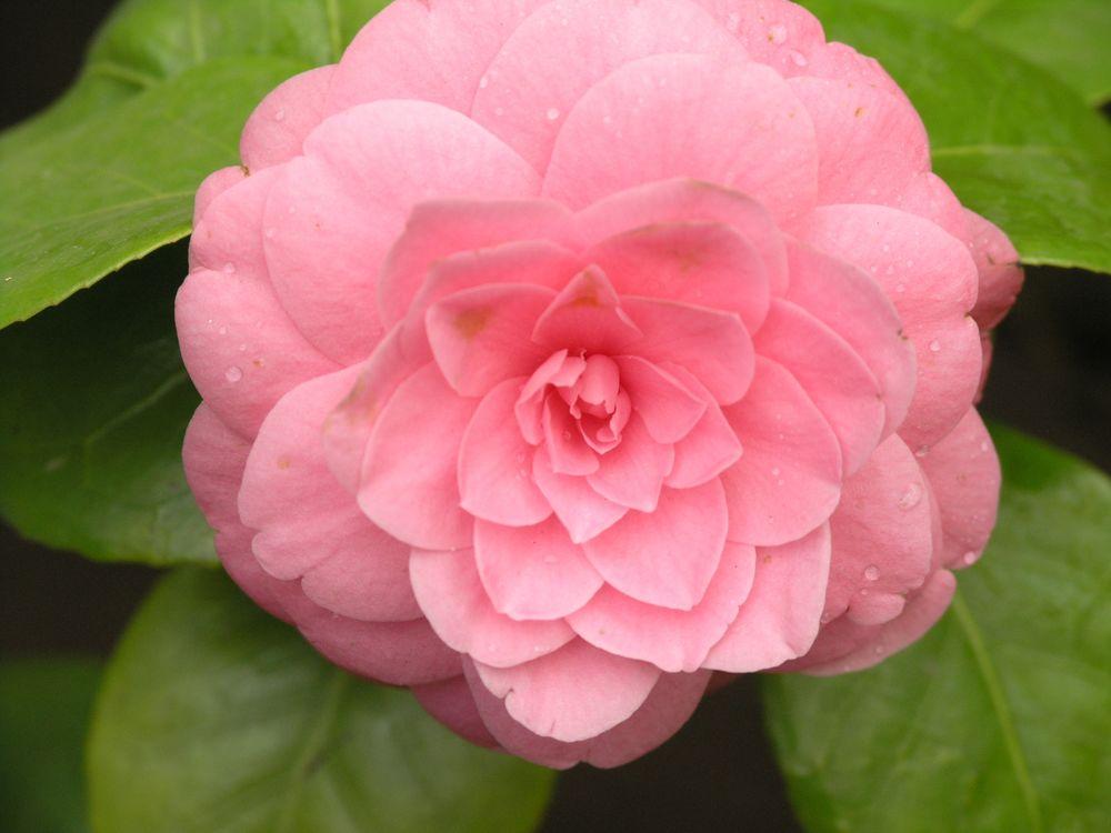 Обои для рабочего стола Японская розовая камелия крупным планом