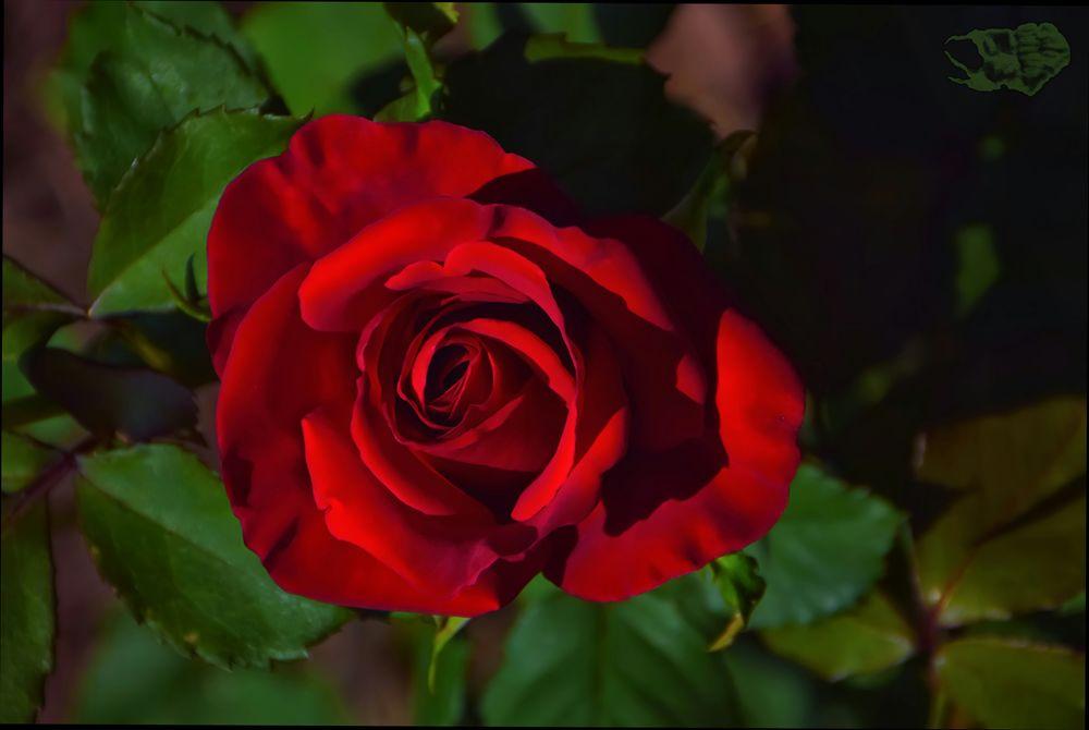 Обои для рабочего стола Красная роза среди листьев крупным планом