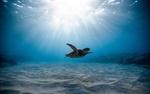 Обои Морская черепаха в своей среде обитания