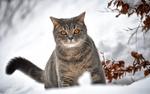 Обои Кот на снегу