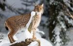 Обои Рысь стоит на снегу
