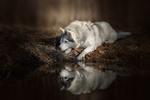 Обои Маламут лежит у воды и внимательно смотрит в сторону, фотограф Светлана Писарева