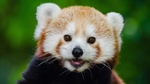 Обои Красная панда крупным планом на размытом фоне