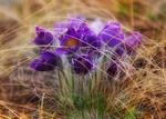 Обои Первые цветы, фотограф Сагайдак Павел