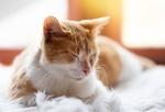 Обои Рыже-белый кот дремлет