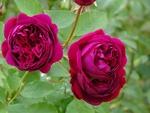 Обои Бордовые кустовые розы