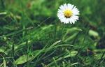 Обои Одинокая ромашка в траве, by Suzy Hazelwood